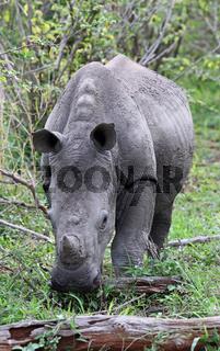 Junges Breitmaulnashorn im Kruger Nationalpark, Südafrika, Breitlippennashorn, young white rhinoceros, Ceratotherium simum