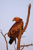 Tawny eagle, Kruger NP, South Africa