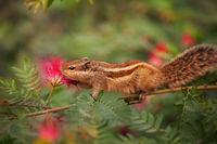 Closeup Shot of a Palm Squirrel in India