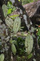Grüne Früchte des Kakaobaum (Theobroma cacao), Bali, Indonesien