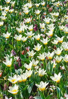 Beautiful white tulips close-up.