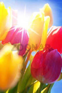 Sunny Blue Sky With Bouquet Of Tulip Flowers
