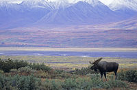 Bull Moose standing in front of the Alaska-Range