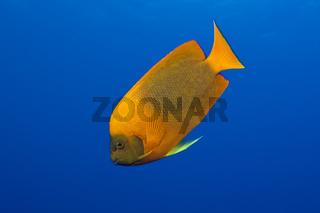 Orange-Prachtkaiserfisch, Mexiko