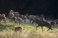 Red Deer stag impress hinds and fawns