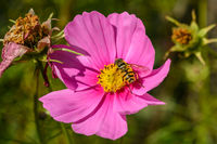 Wasp resting on bright pink flower