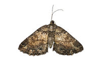 Moth of genus Xylopteryx