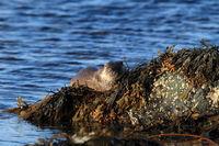 Fischotter  Norwegen