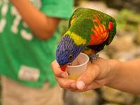 Lori parrot drinking on hand
