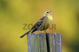 Yellowhammer, Emberiza citrinella, Goldammer