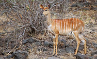 female Nyala, south africa, wildlife