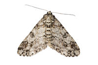 Moth of genus Cleora