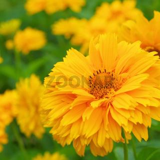 Sonnenauge - oxeye daisy 06