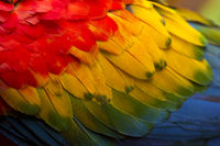 colorful feathers of a Scarlet macaw