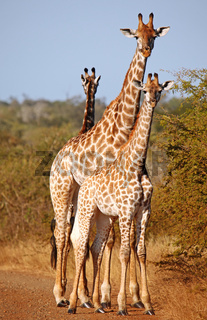 Giraffen blockieren Straße im Kruger Nationalpark, Südafrika, giraffes blocking the street, Kruger national park, South Africa