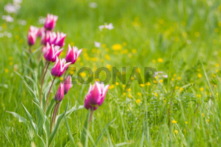 Violet Tulips in a row on a summer field
