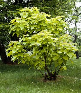 Trompetenbaum, Catalpa bignonioides