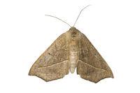 Moth of genus Psilocerea