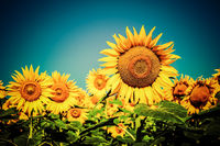 Sunflower field under blue sky. Floral background