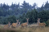 Red Deer hinds and calfs standing in heath