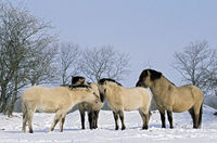 Heck Horse stallion, mares and foals in winter