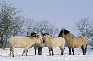 Konik - Hengst, Stuten und Fohlen im Winter