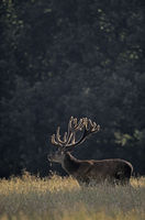 Red Deer stag with velvet antler in backlight