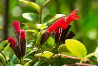 Red Lipstick Flower