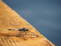 Dragonfly closeup on wood by river