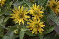 Sanvitalia procumbens 'Solaris', Creeping Zinnea