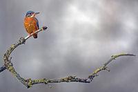Eisvogel (Alcedo atthis) auf Sitzwarte, Niedersachsen, Deutschla