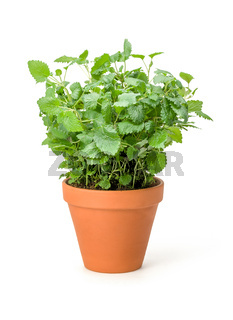 Lemon balm in a clay pot