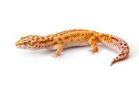 Yellow-orange gecko