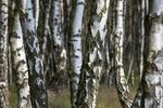 Birkenwald / Betula
