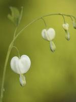 Bleeding heart - Lamprocapnos spectabilis 'Alba'