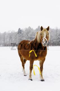 Pferd (Equus ferus caballus) auf Wiese, Muehlenbeck, Mecklenburg-Vorpommern, Deutschland