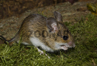Waldmaus    Apodemus sylvaticus
