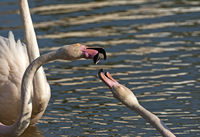Fighting Greater Flamingos