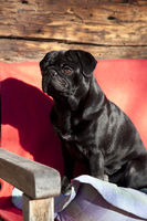 Black pug in the sun