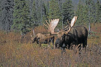 Bull Moose and cow in the rut - (Alaska Moose)