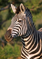 Zebra, Marakele NP, South Africa