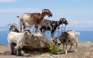 Ziegen auf einem Felsblock Goats on a boulder