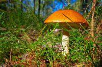 Rotkappe - red cap mushroom 10