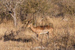 Impala - the Macdonalds of the wild (everything eats them!) in their natural habitat.
