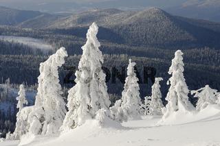Verschneite Fichten, Bayern