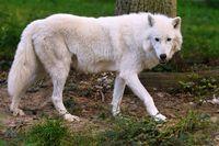 1 BA Polar Wolf  14.jpg