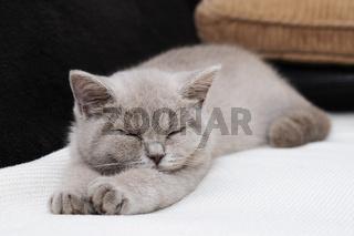 Schlafendes Britisch Kurzhaar Jungtier