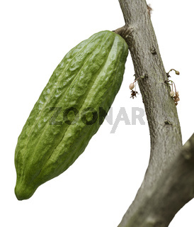 Cocoa Tree With Fruit