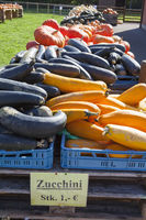 Zucchini, (Cucurbita pepo)
