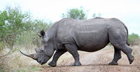 white rhinoceros on the street, south africa